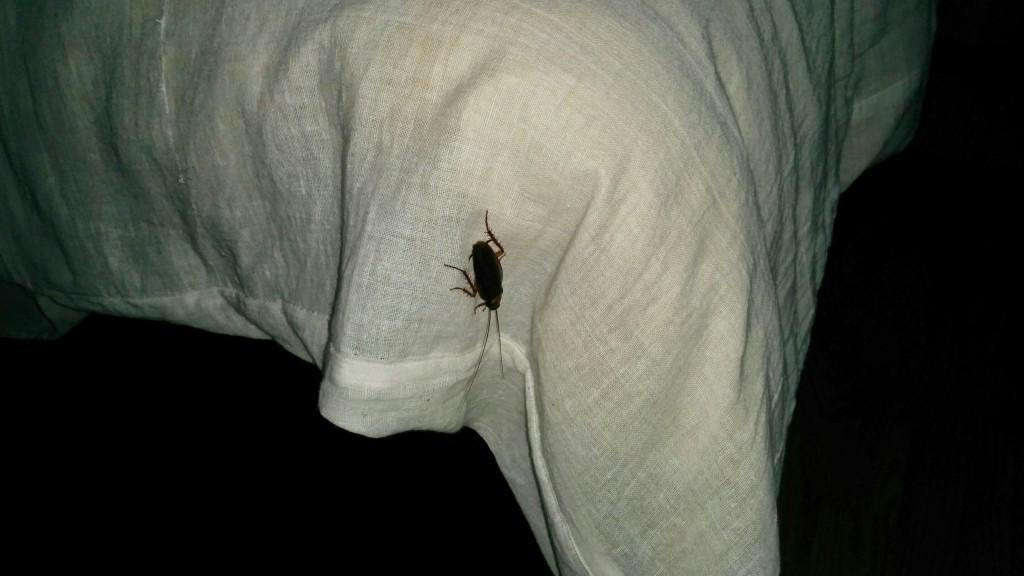 Cockroach the size of your thumb