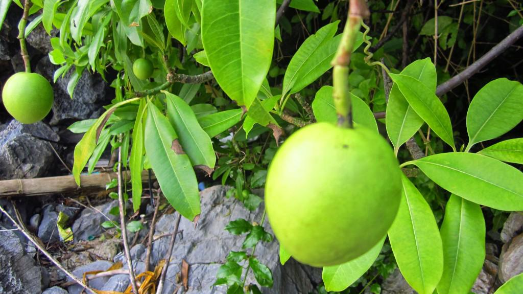 Fresh mango growing on beach